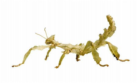 stick insect, Phasmatodea - Extatosoma tiaratum in front of a white backgroung Stock Photo - Budget Royalty-Free & Subscription, Code: 400-04505487