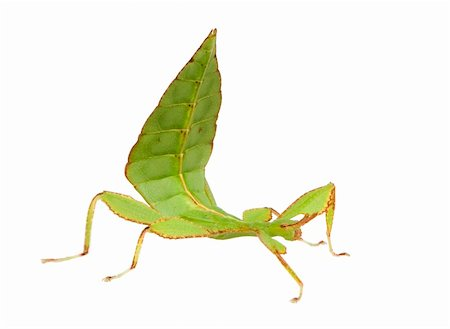 leaf insect, Phylliidae - Phyllium sp in front of a white backgroung Stock Photo - Budget Royalty-Free & Subscription, Code: 400-04505498