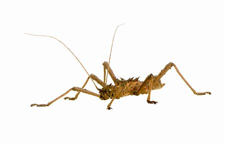 stick insect, Phasmatodea - Aretaon Asperrimus in front of a white backgroung Stock Photo - Budget Royalty-Free & Subscription, Code: 400-04505491