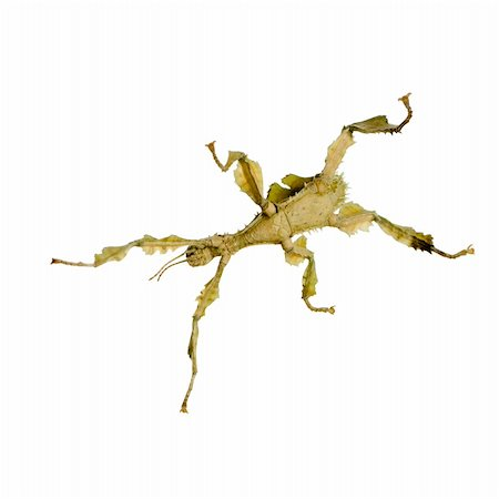stick insect, Phasmatodea - Extatosoma tiaratum in front of a white backgroung Stock Photo - Budget Royalty-Free & Subscription, Code: 400-04505493