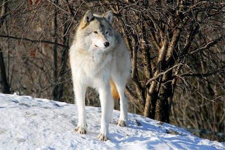 Picture of a Gray Wolf in it's natural Winter habitat Stock Photo - Budget Royalty-Free & Subscription, Code: 400-04503069