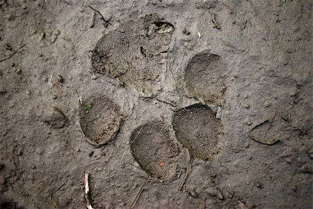 Beast footmark in the mud Stock Photo - Budget Royalty-Free & Subscription, Code: 400-04574324