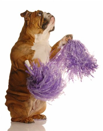 english bulldog holding cheerleading pompoms isolated on white background Stock Photo - Budget Royalty-Free & Subscription, Code: 400-04575786