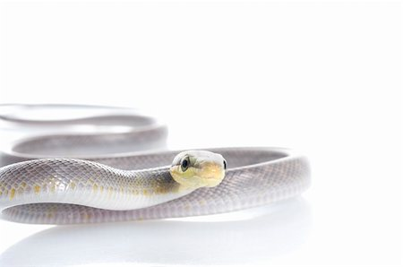 snake skin - Silver phase Red-tailed Rat Snake against a white background. Stock Photo - Budget Royalty-Free & Subscription, Code: 400-04583790