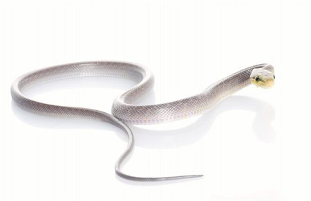snake skin - Silver phase Red-tailed Rat Snake against a white background. Stock Photo - Budget Royalty-Free & Subscription, Code: 400-04583791