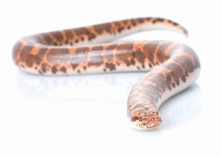 snake skin - Kenyan Sand Boa (male) against a white background. Stock Photo - Budget Royalty-Free & Subscription, Code: 400-04583819