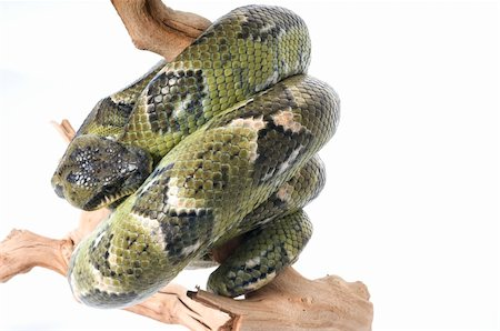 snake skin - Madagascar Tree Boa on a branch against a white background. Stock Photo - Budget Royalty-Free & Subscription, Code: 400-04583825