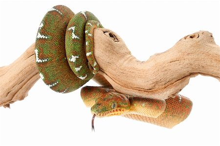 snake skin - Emerald Tree Boa (female) on a branch against a white background. Stock Photo - Budget Royalty-Free & Subscription, Code: 400-04583847