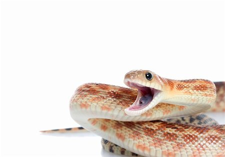 snake skin - Cape Gopher Snake (Pituophis catenifer vertibralis) mouth open in attack position. Stock Photo - Budget Royalty-Free & Subscription, Code: 400-04583860