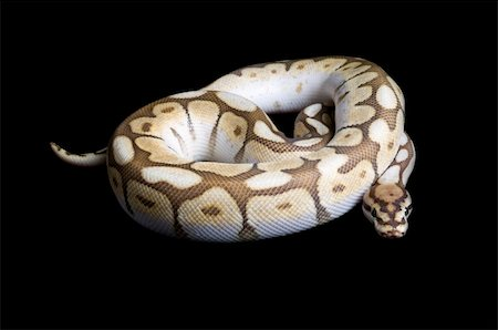snake skin - Albino Spider Ball Python against black background. Stock Photo - Budget Royalty-Free & Subscription, Code: 400-04583938
