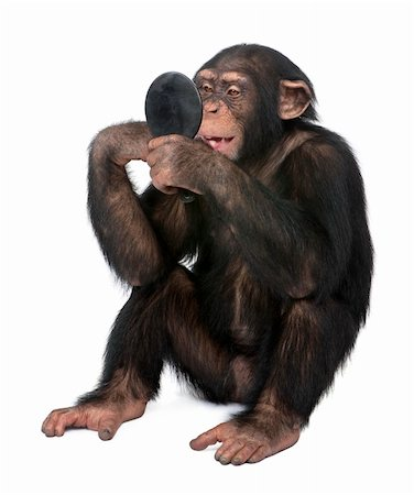 smiling chimpanzee - Young Chimpanzee looking himself at the mirror in front of a white background Stock Photo - Budget Royalty-Free & Subscription, Code: 400-04617006
