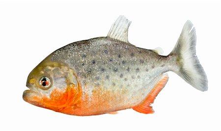 piranha fish - Piranha - Serrasalmus nattereri in front of a white background Stock Photo - Budget Royalty-Free & Subscription, Code: 400-04617037