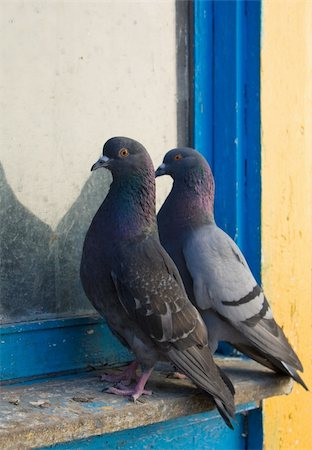 simsearch:400-04399778,k - Gray pigeons Stock Photo - Budget Royalty-Free & Subscription, Code: 400-04619589