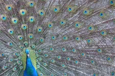 people mating - A peacock showing off his colors Stock Photo - Budget Royalty-Free & Subscription, Code: 400-04624680