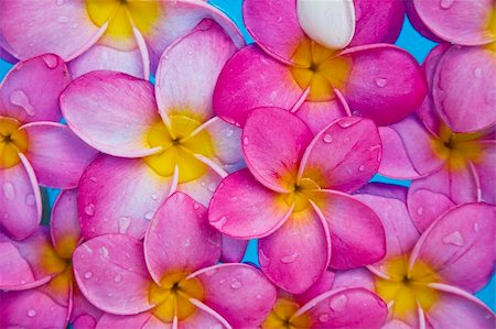 spanishalex (artist) - Pink frangipani flowers in a blue pool Stock Photo - Budget Royalty-Free & Subscription, Code: 400-04651511