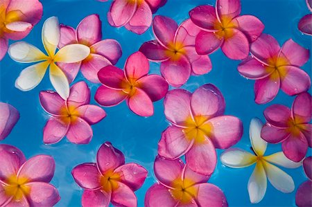 spanishalex (artist) - Background of pink frangipani flowers floating in a blue pool Stock Photo - Budget Royalty-Free & Subscription, Code: 400-04651512