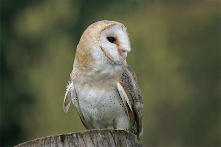 Portrait of a Barn Owl Stock Photo - Budget Royalty-Free & Subscription, Code: 400-04685901