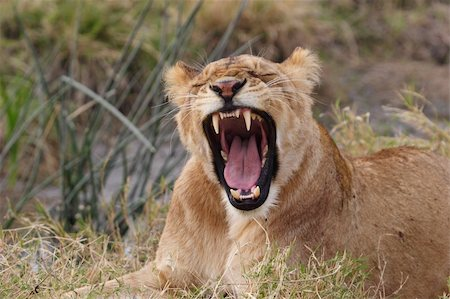 roar lion head picture - Yawning young lion in Kenya laying in the grass Stock Photo - Budget Royalty-Free & Subscription, Code: 400-04681220