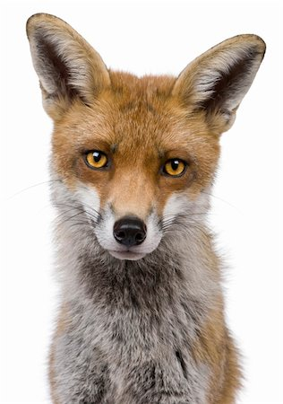 Close-up headshot of Red Fox, 1 year old, in front of white background Stock Photo - Budget Royalty-Free & Subscription, Code: 400-04695832