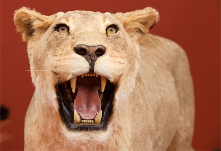 Aggressive expression of stuffed lion with red background Stock Photo - Budget Royalty-Free & Subscription, Code: 400-04693101