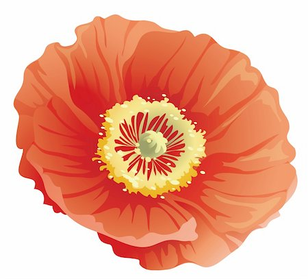 simsearch:400-04697977,k - beautiful red poppy flower in a white background Stock Photo - Budget Royalty-Free & Subscription, Code: 400-04700218