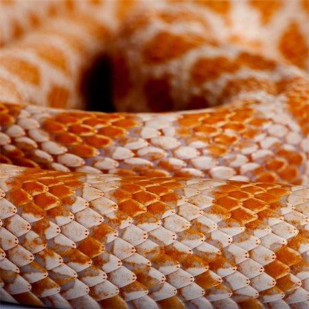 snake skin - Close-up of corn snakeskin or red rat snakeskin, Pantherophis guttattus Stock Photo - Budget Royalty-Free & Subscription, Code: 400-04701485