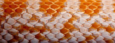 snake skin - Close-up of corn snakeskin or red rat snakeskin, Pantherophis guttattus Stock Photo - Budget Royalty-Free & Subscription, Code: 400-04701486