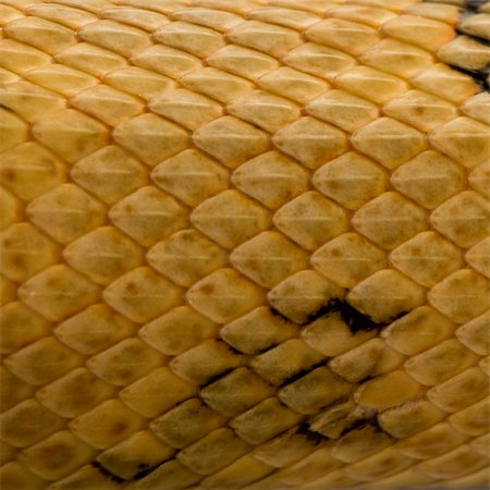 snake skin - Close-up of Trans-Pecos rat snake scales, Bogertophis subocularis Stock Photo - Budget Royalty-Free & Subscription, Code: 400-04701480