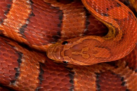 snake skin - High angle view of corn snake or red rat snake, Pantherophis guttattus Stock Photo - Budget Royalty-Free & Subscription, Code: 400-04701496