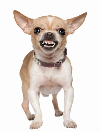 Angry Chihuahua growling, 2 years old, in front of white background Stock Photo - Budget Royalty-Free & Subscription, Code: 400-04702119