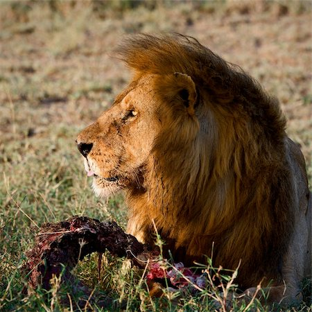 roar lion head picture - Supper of a lion. A having supper lion in the light of the coming sun with a meat piece. Stock Photo - Budget Royalty-Free & Subscription, Code: 400-04727848
