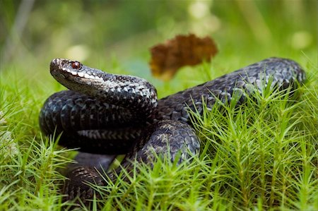 snake skin - The snake with has returned and prepares for a throw. Stock Photo - Budget Royalty-Free & Subscription, Code: 400-04735641