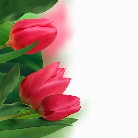 flores - Bouquet of tulips on a white background. EPS 8 vector file included Stock Photo - Budget Royalty-Free & Subscription, Code: 400-04736465