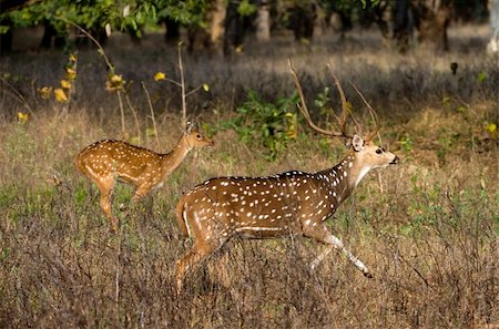 deer hunt - Axis or Spotted Deer (Axis axis) INDIA Kanha National Park Stock Photo - Budget Royalty-Free & Subscription, Code: 400-04737782
