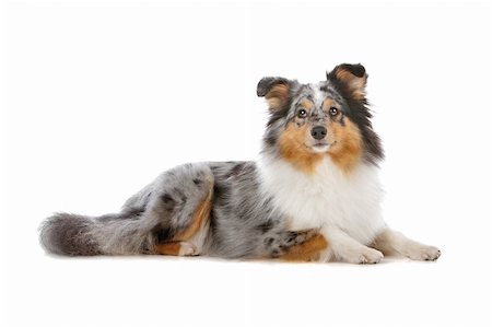 sheltie - Shetland Sheepdog, Sheltie dog isolated on a white background Stock Photo - Budget Royalty-Free & Subscription, Code: 400-04742351