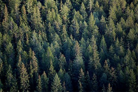 Looking down on expansive coniferous forest Stock Photo - Budget Royalty-Free & Subscription, Code: 400-04760210