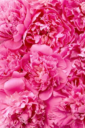 peonies background - Peony flower heads - background Stock Photo - Budget Royalty-Free & Subscription, Code: 400-04761100