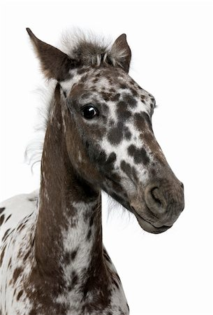 Close-up of a Crossbreed Foal between a Appaloosa and a Friesian horse, 3 months old, standing in front of white background Stock Photo - Budget Royalty-Free & Subscription, Code: 400-04761648