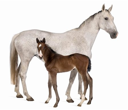 female white background full body - Mare and her foal, 14 years old and 20 days old, standing in front of white background Stock Photo - Budget Royalty-Free & Subscription, Code: 400-04761655