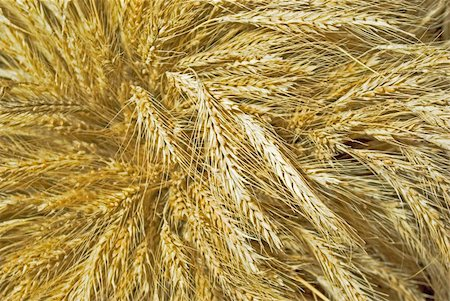 big cock of mature wheat spikes Stock Photo - Budget Royalty-Free & Subscription, Code: 400-04763508