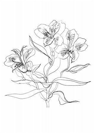 Alstrameriya flower brush drawing on white background Stock Photo - Budget Royalty-Free & Subscription, Code: 400-04776674
