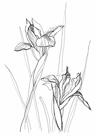 Iris flower drawing on white background Stock Photo - Budget Royalty-Free & Subscription, Code: 400-04776679