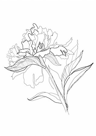 peony illustrations - drawing peony monochrome graphic sketch Stock Photo - Budget Royalty-Free & Subscription, Code: 400-04776680