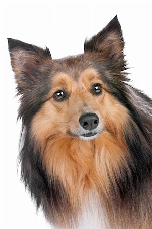 sheltie - Shetland Sheepdog, sheltie, isolated on a white background Stock Photo - Budget Royalty-Free & Subscription, Code: 400-04773833