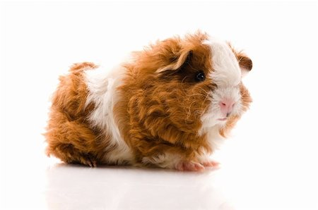 baby guinea pig. texel. isolated on the white Stock Photo - Budget Royalty-Free & Subscription, Code: 400-04791339