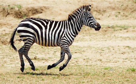 Single zebra (African Equid) running in the nature reserve in South Africa Stock Photo - Budget Royalty-Free & Subscription, Code: 400-04807150