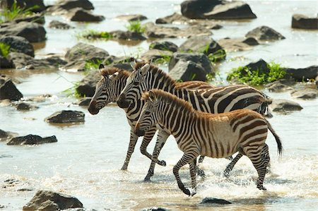 Three zebras (African Equids) crossing the river in nature reserve in South Africa Stock Photo - Budget Royalty-Free & Subscription, Code: 400-04808518