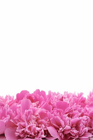 pattern paeonia - Peony over white background Stock Photo - Budget Royalty-Free & Subscription, Code: 400-04808821