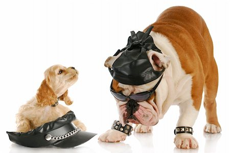 english bulldog and cocker spaniel puppy dressed up like bikers with reflection on white background Stock Photo - Budget Royalty-Free & Subscription, Code: 400-04809384