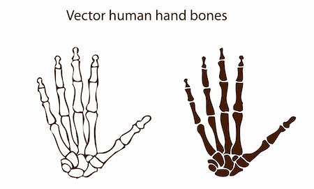vector human hand bones Stock Photo - Budget Royalty-Free & Subscription, Code: 400-04822214